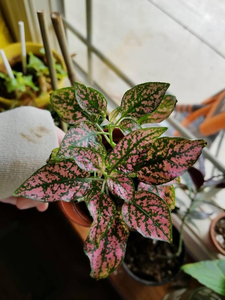 Poka Dot plant